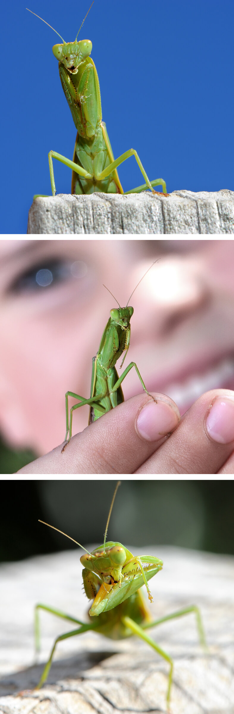 Praying Mantis blog